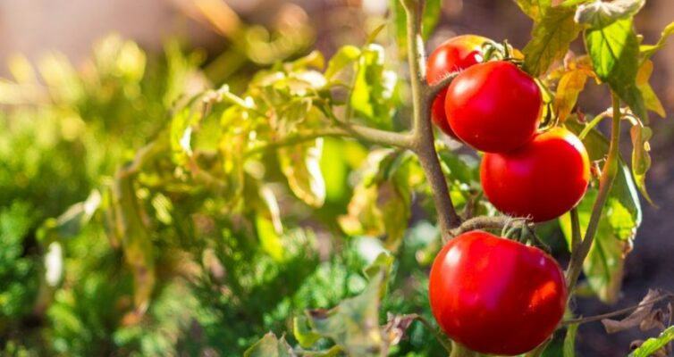 zametki-o-samyh-grubyh-oshibkah-dopuskaemyh-pri-vyrashhivanii-tomatov-foto-pomidory-sorta-dubok
