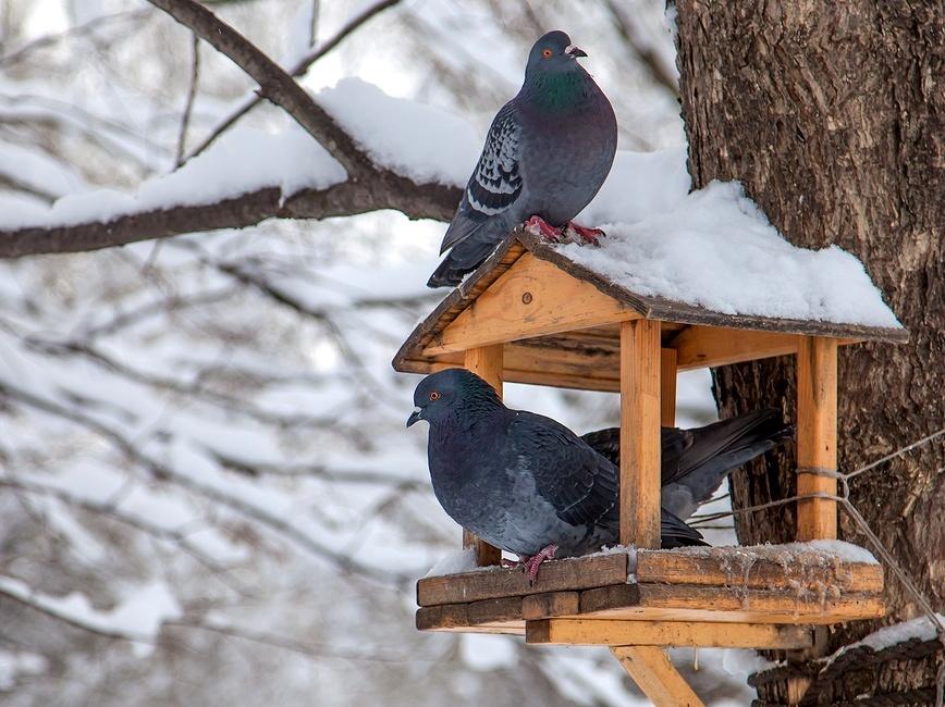 chem-mozhno-kormit-raznyh-ptits-zimoj-v-karmushkah-foto-golubi-v-kormushke-zimo