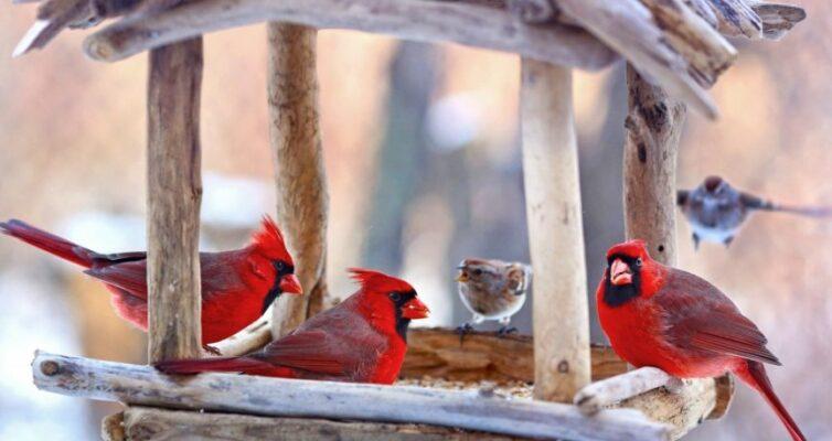 chem-mozhno-kormit-raznyh-ptits-zimoj-v-karmushkah-foto-kormushka-ptitsy-kardinal-i-vorobi