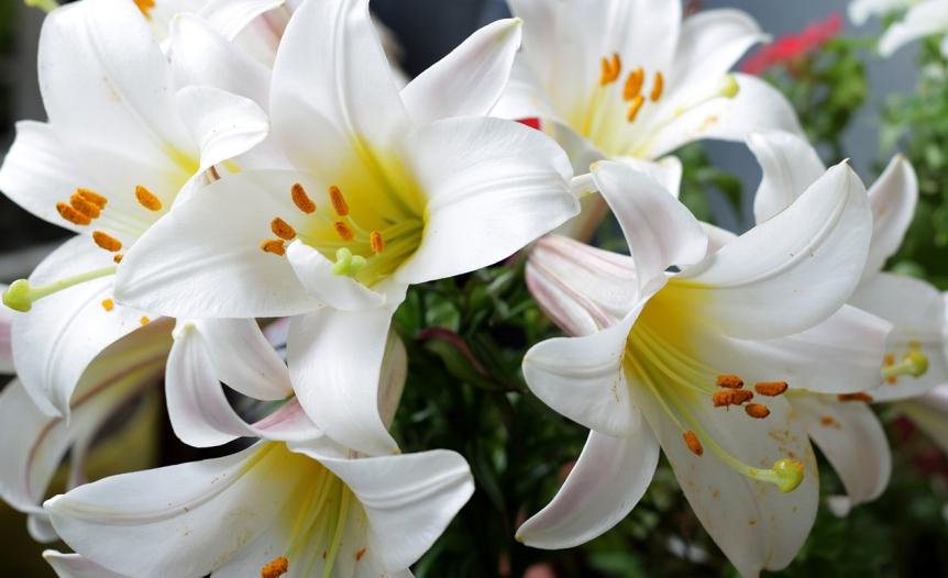 chto-simvoliziruyut-belye-tsvety-roza-liliya-romashka-i-drugie-15-vidov-tsvetov-foto-belye-lilii
