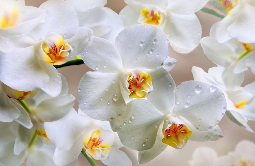 chto-simvoliziruyut-belye-tsvety-roza-liliya-romashka-i-drugie-15-vidov-tsvetov-foto-belye-orhidei