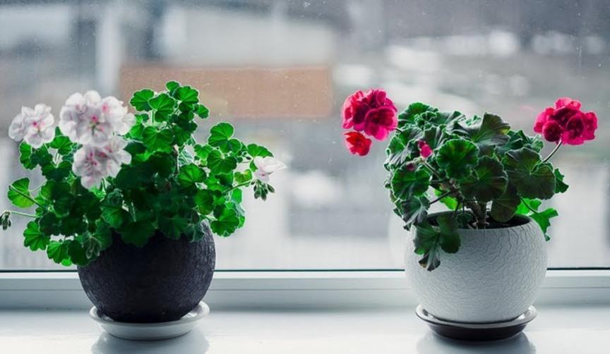 komnatnyj-tsvetok-propadaet-kak-spasti-rastenie-sovety-foto-tsvety-geran-na-okne