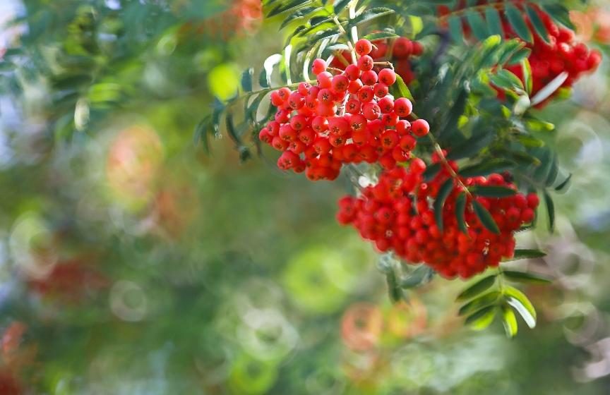 ryabina-primety-k-chemu-snitsya-foto-grozd-ryabiny-krasnoj
