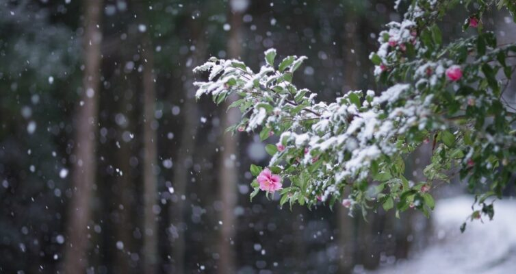 sneg-narodnye-primety-k-chemu-snitsya-foto-sneg-idet-tsvety-v-snegu