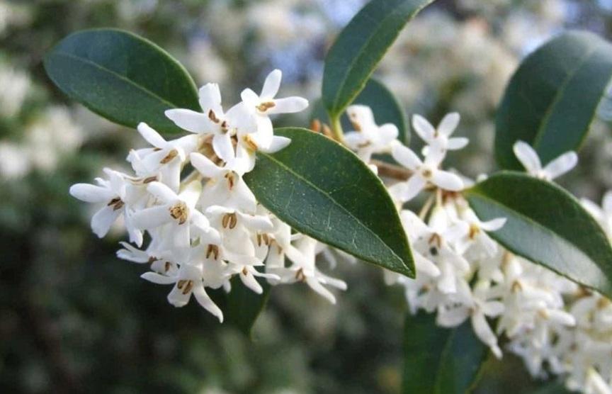 top-10-samyh-aromatnyh-tsvetov-v-mire-foto-osmantus-dushistyj-belyj