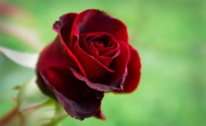 top-10-samyh-aromatnyh-tsvetov-v-mire-foto-roza
