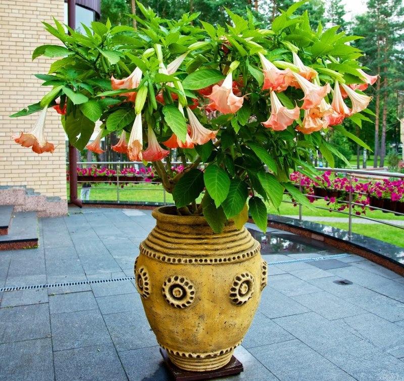 top-10-samyh-aromatnyh-tsvetov-v-mire-foto-tsvety-brugmansiya