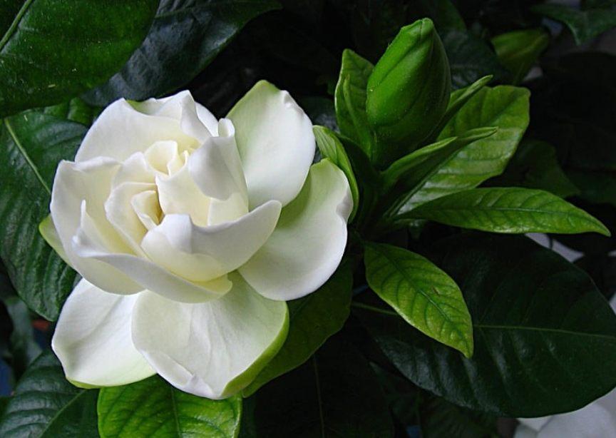 top-10-samyh-aromatnyh-tsvetov-v-mire-foto-tsvety-gardeniya