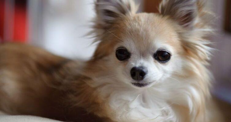 10-interesnyh-faktov-o-sobachke-chihuahua-foto-sobaka-porody-chihuahua