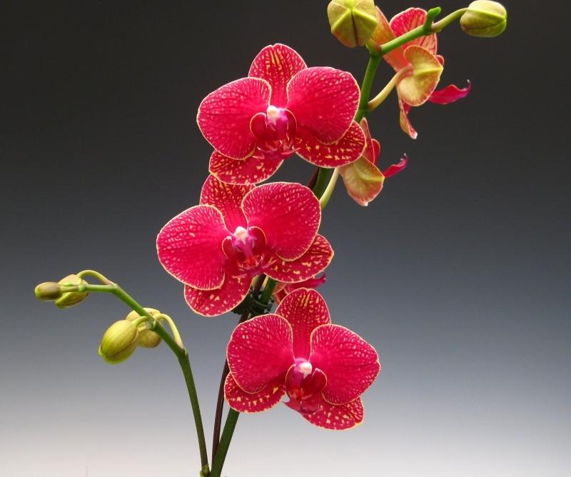 орхидеи красного цвета картинки творчеству подвигла