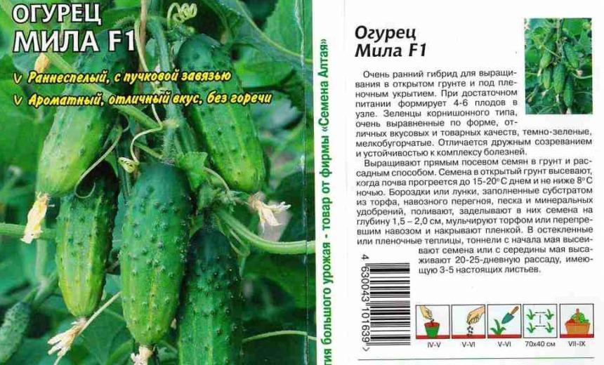 ogurtsy-kak-vyrastit-ovoshhi-na-balkone-foto-semena-ogurtsov-dlya-vyrashhivaniya-na-balkone-v-teplitse