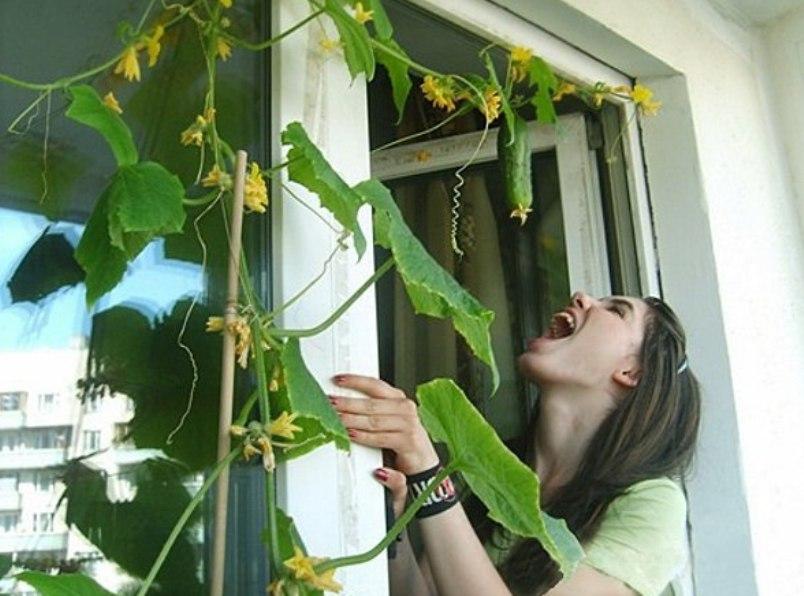 ogurtsy-kak-vyrastit-ovoshhi-na-balkone-foto-vyrashhivanie-ogurtsov-na-balkone