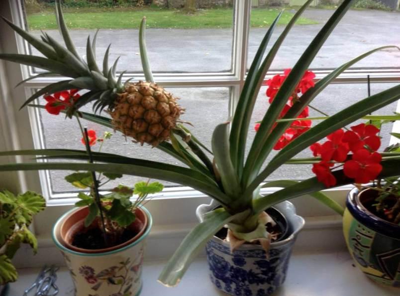 kak-doma-mozhno-vyrastit-ananas-samyj-prostoj-sposob-foto-ananas-v-gorshke-na-okne