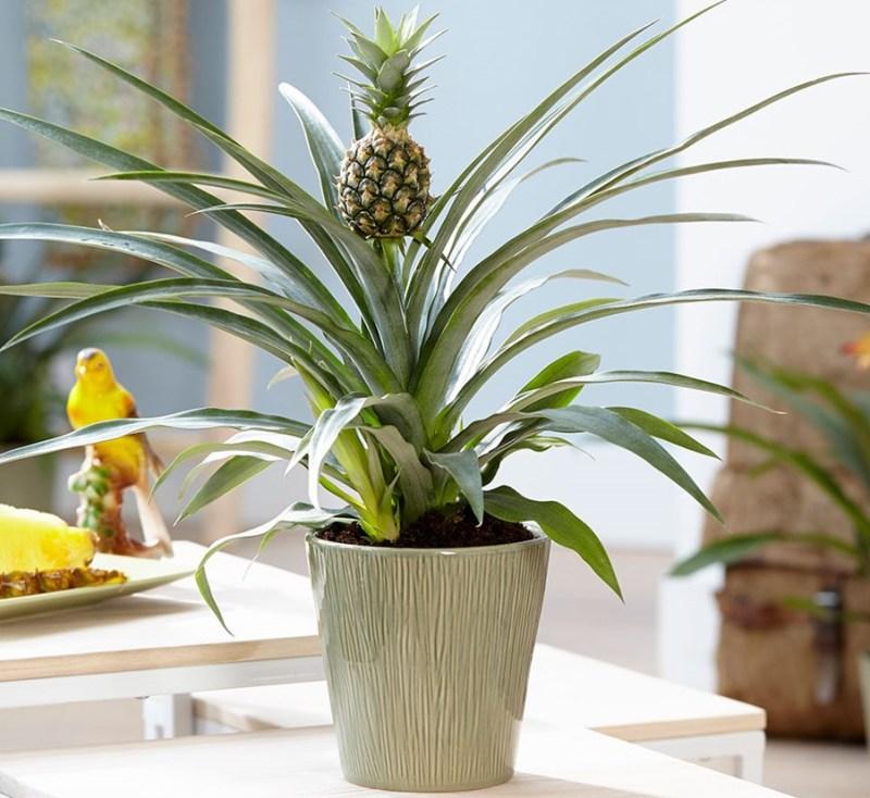 kak-doma-mozhno-vyrastit-ananas-samyj-prostoj-sposob...