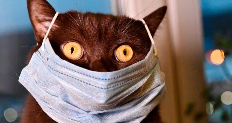 koshki-mogut-zarazitsya-koronavirusom-issledovaniya-kitajskih-uchenyh-foto-koshka-v-maske