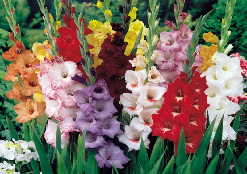 kak-posadit-i-razmnozhit-tsvety-gladiolusy-v-sadu-foto-gladiolus-raznyh-tsvetov