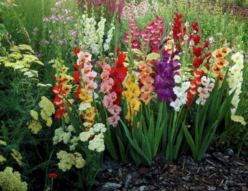 samye-horoshie-podkormki-dlya-tsvetov-v-sadu-ogorode-foto-gladiolusy