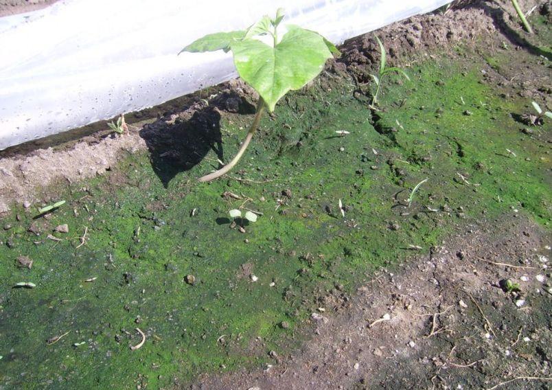 zelenaya-zemlya-v-teplitse-moh-ili-vodorosli-kak-ustranit-problemu