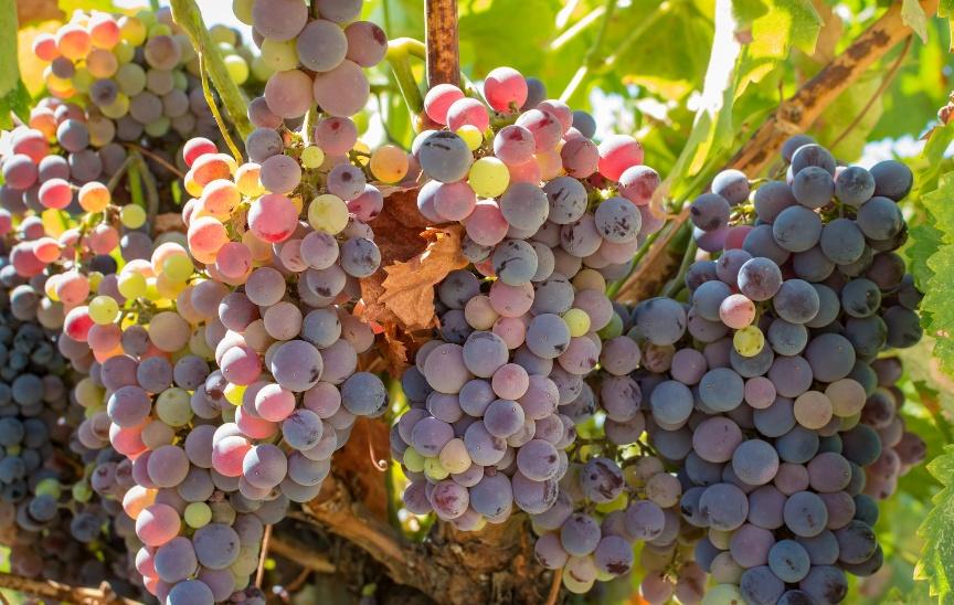 3-vazhnye-protsedury-dlya-vinograda-v-iyule-i-avguste-foto-grozdya-vinograda-pospevayut