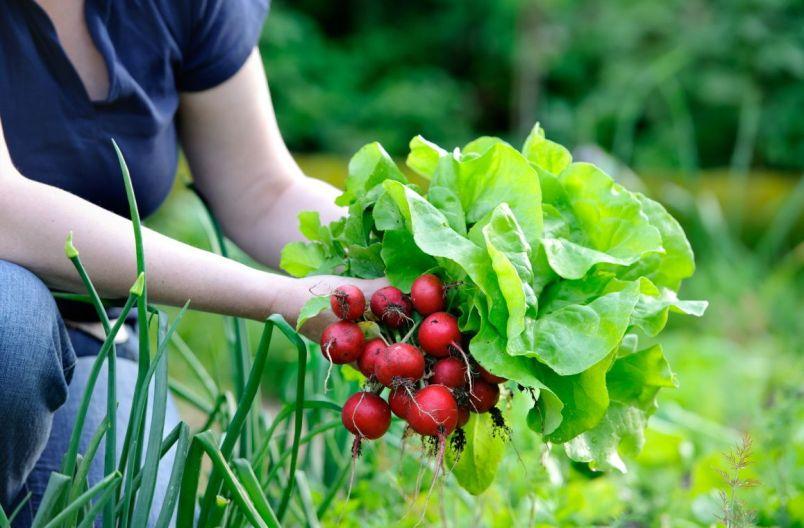 chto-mozhno-poseyat-v-avguste-chtoby-sobrat-vtoroj-urozhaj-foto-redis-salat-zelenyj-luk-zelen...