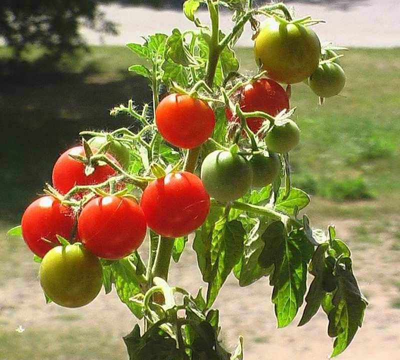 mify-o-vyrashhivanii-tomatov-pomidor-foto-kust-tomata-pomidor