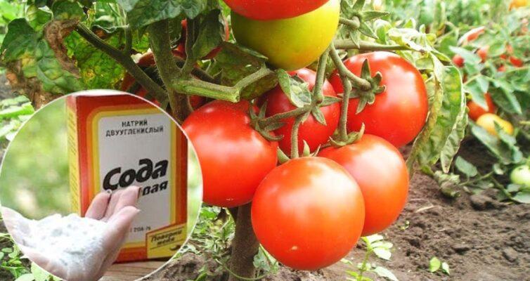 soda-pishhevaya-ot-muravev-i-gusenits-ot-muchnistoj-rosy-dlya-sochnyh-i-sladkih-tomatov-foto