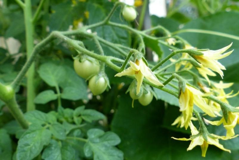 tomaty-sbrasyvayut-tsvetki-i-zavyazi-chto-nuzhno-delat-i-kak-spasti-urozhaj-foto-tsvetki-i-zavyazi-tomatov