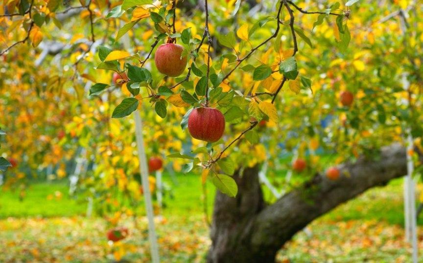 kak-osenyu-zashhitit-plodovye-derevya-ot-vreditelej-foto-yabloni-osenyu...