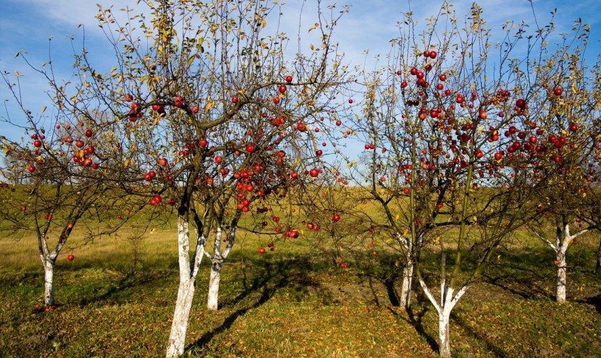kak-osenyu-zashhitit-plodovye-derevya-ot-vreditelej-foto-yabloni-osenyu