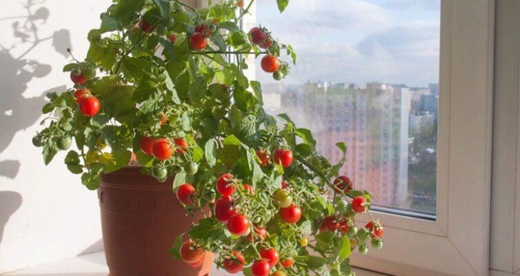 kak-vyrashhivat-tomaty-cherri-na-podokonnike-chtoby-sobrat-shhedryj-urozhaj-k-novomu-godu-foto-cheri-na-okne