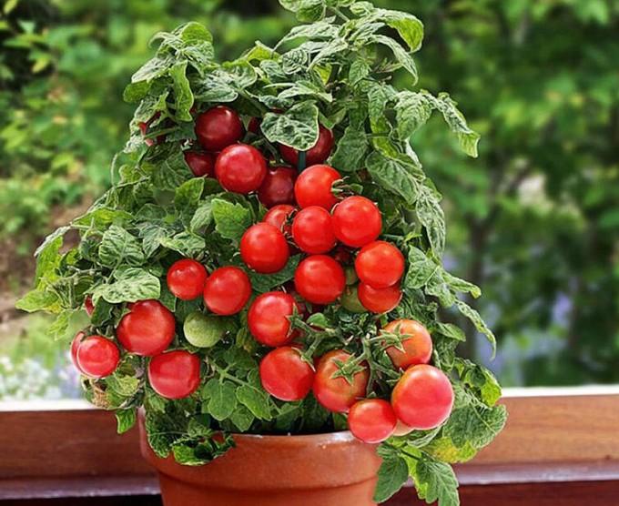 kak-vyrashhivat-tomaty-cherri-na-podokonnike-chtoby-sobrat-shhedryj-urozhaj-k-novomu-godu-foto-sort-bansaj
