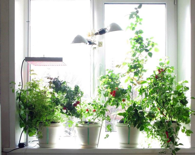 kakie-ovoshhi-i-zelen-mozhno-vyrashhivat-zimoj-na-podokonnike-foto-mini-tomaty-ostryj-perets-zelen-lampy-podsvetka