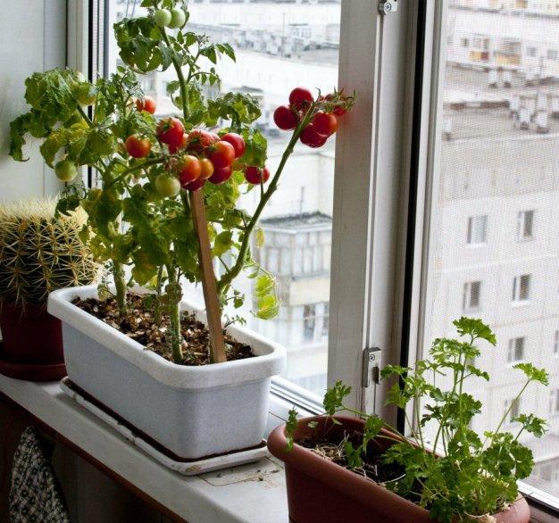 kakie-ovoshhi-i-zelen-mozhno-vyrashhivat-zimoj-na-podokonnike-foto-mini-tomaty-sort-cheri