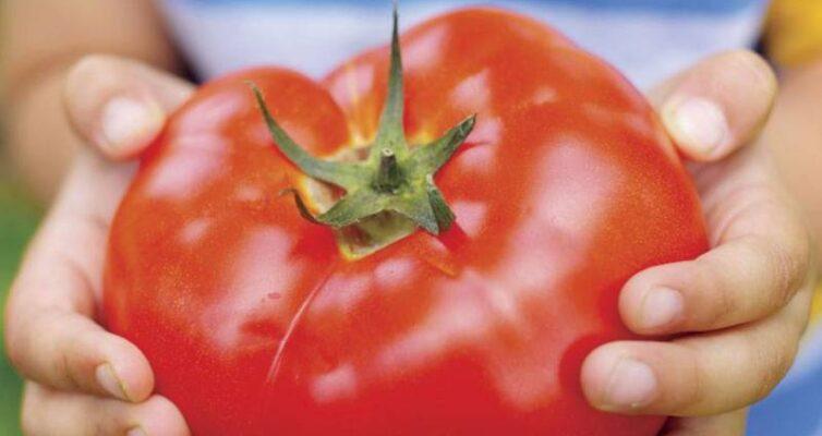 bif-tomaty-osobennosti-vyrashhivaniya-i-uhod-za-krupnym-sortom-pomidor-foto-bif-tomat-sort-f-1