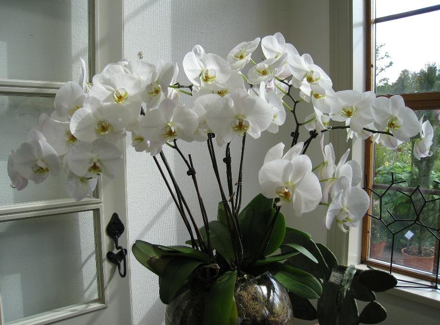 chtoby-vsegda-tsvela-komnatnaya-orhideya-5-proverennyh-sposobov-pravilnyy-uhod-za-komnatnoy-orhideey