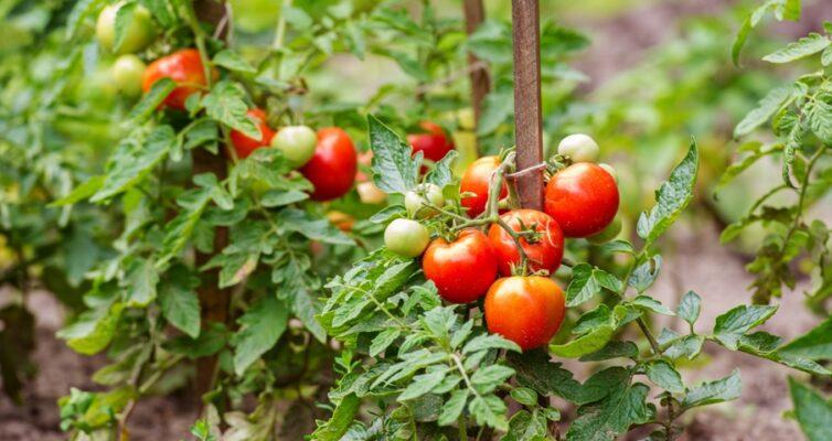 kakie-rasteniya-mozhno-sazhat-ryadom-s-tomatami-pomidorami-a-kakie-rasteniya-nelzya-sazhat