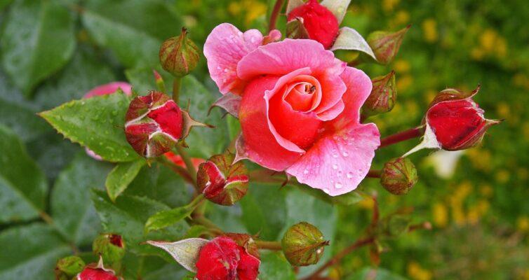sadovaya-roza-prevratilas-v-shipovnik-prichiny-i-chto-delat-foto-roza-troyanda