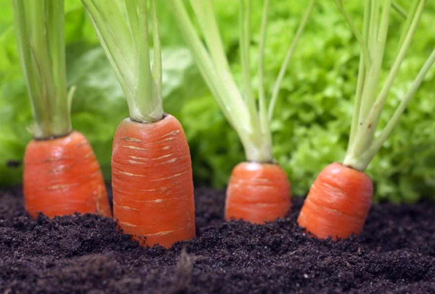 vyraschivanie-morkovi-sposoby-poluchit-horoshiy-urozhay