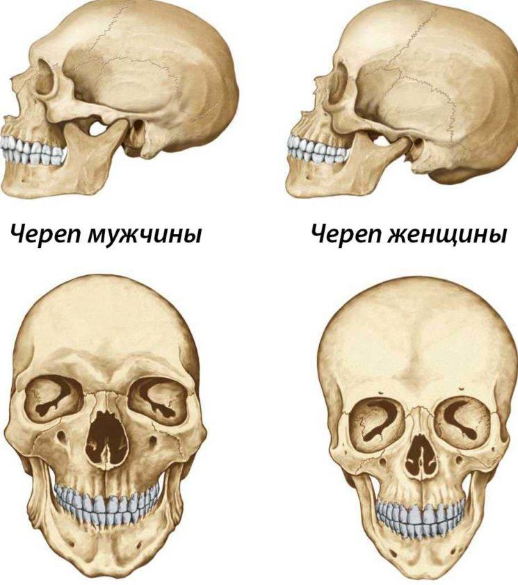 chem-otlichaetsya-zhenskij-skelet-ot-murzhskogo-foto-cherep-muzhchiny-i-zhenshhiny