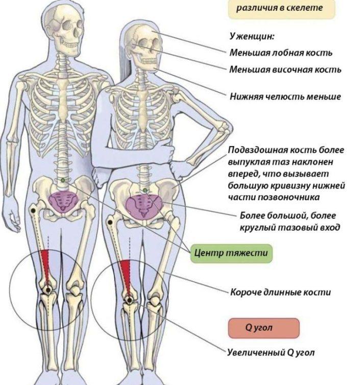 chem-otlichaetsya-zhenskij-skelet-ot-murzhskogo-foto-shema-oboih-skeletov-s-opisaniem