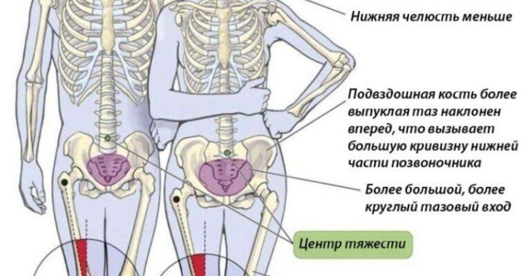 chem-otlichaetsya-zhenskij-skelet-ot-murzhskogo-opisanie-foto-shema-skeletov