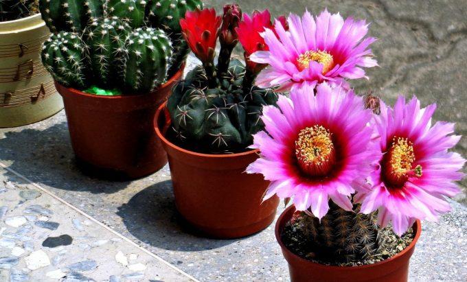 chto-podarit-sestre-na-den-rozhdeniya-ideya-podarkov-foto-tsvetushhie-domashnie-kaktusy