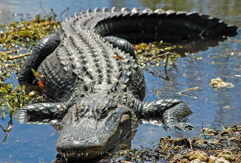kakaya-raznitsa-mezhdu-krokodilom-i-alligatorom-chem-oni-razlichayutsya-kak-vyglyadyat-foto-alligator