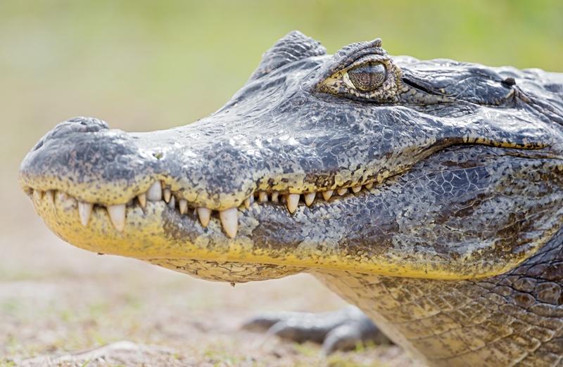 kakaya-raznitsa-mezhdu-krokodilom-i-alligatorom-chem-oni-razlichayutsya-kak-vyglyadyat-foto-krokodil-golova-krokodila