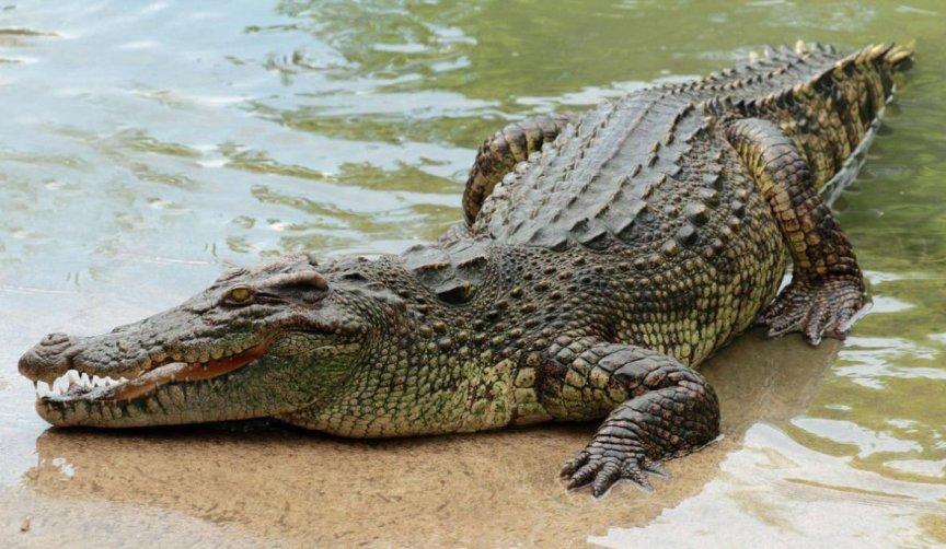 kakaya-raznitsa-mezhdu-krokodilom-i-alligatorom-chem-oni-razlichayutsya-kak-vyglyadyat-foto-krokodil