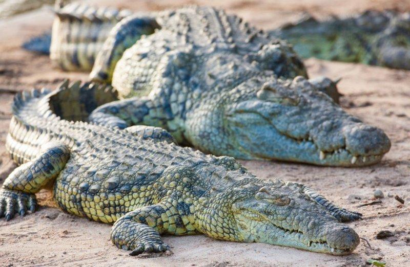 kakaya-raznitsa-mezhdu-krokodilom-i-alligatorom-chem-oni-razlichayutsya-kak-vyglyadyat-foto-nilskij-krokodil