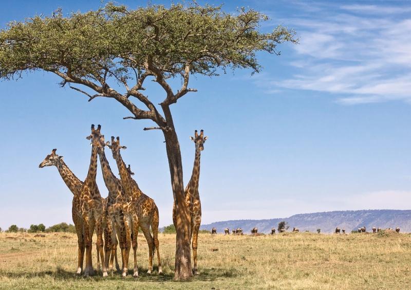 avstraliya-i-afrika-v-chem-raznitsa-i-otlichie-opisanie-i-foto-afrika-priroda-zherafy