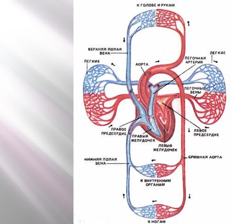 chem-otlichaetsya-venoznaya-krov-ot-arterialnoj-raznitsa-i-otlichie-venoznaya-krov-i-arterialnaya-shema-krovoobrashheniya
