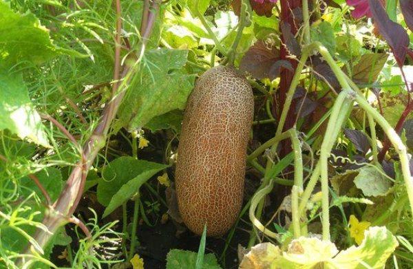 kak-pravilno-sobrat-i-zagotovit-svoi-semena-ogurtsov-i-tomatov-semennoj-ogurets