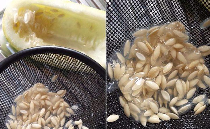 kak-sobrat-i-zagotovit-svoi-semena-ogurtsov-i-tomatov-semena-ogurtsov-protsess-zagotovki